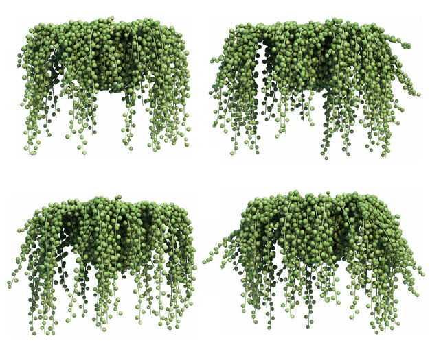 四款3D渲染的翡翠珠吊兰绿植观赏植物937876免抠图片素材