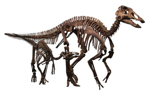 埃德蒙顿龙晚白垩纪鸟臀目鸭嘴龙科植食性恐龙化石骨架8109294png图片免抠素材 生物自然-第1张