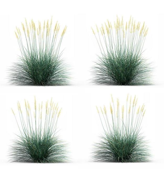 四款3D渲染的蓝羊茅野草园艺绿植观赏植物121731免抠图片素材