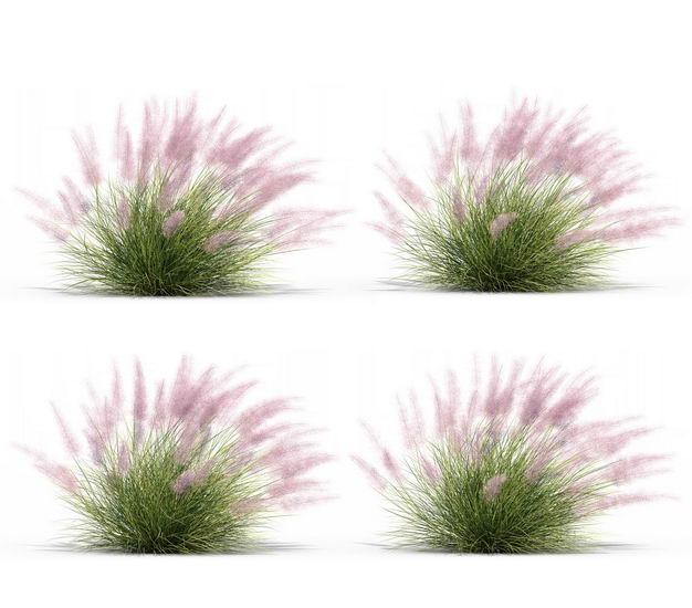 四款3D渲染的乱子草三芒草园艺绿植观赏植物219029免抠图片素材