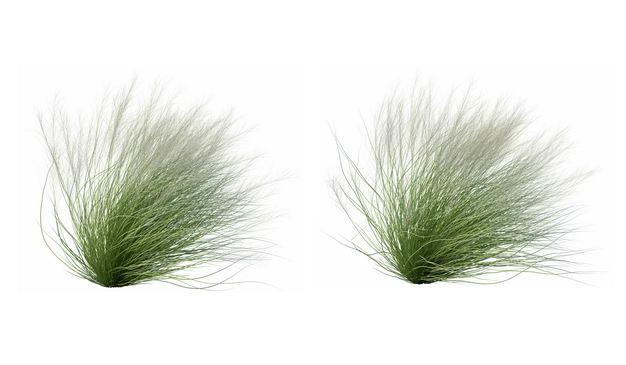 两款3D渲染的针茅草野草狗尾草绿植观赏植物555679免抠图片素材 生物自然-第1张