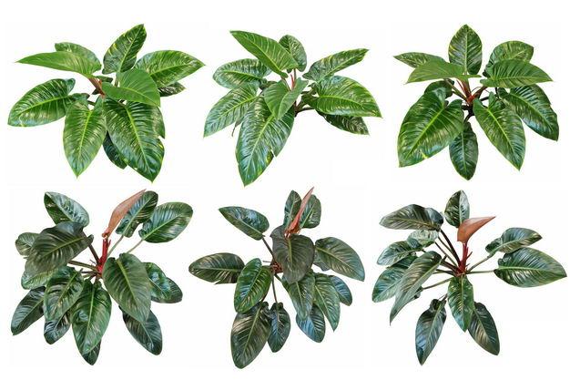 六款3D渲染的红苞喜林芋盆栽绿植观赏植物637611免抠图片素材