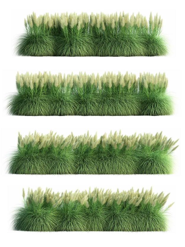 四款3D渲染的生长繁盛的蒲苇园艺绿植观赏植物521715免抠图片素材 生物自然-第1张