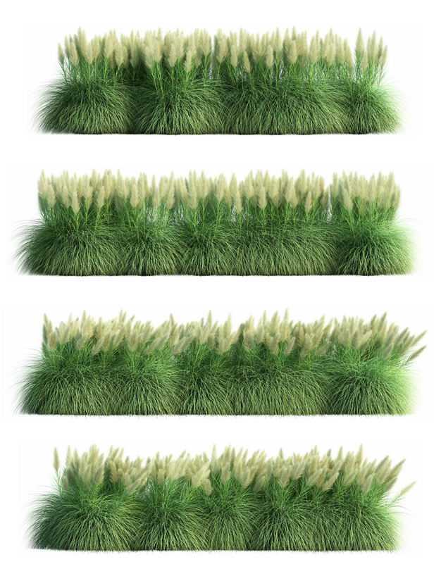 四款3D渲染的生长繁盛的蒲苇园艺绿植观赏植物521715免抠图片素材