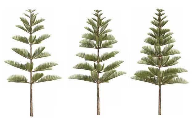 三棵3D渲染的南洋杉绿色大树盆栽植物盆景408490免抠图片素材