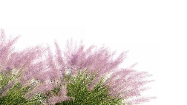 乱子草野草园艺绿植观赏植物554298免抠图片素材