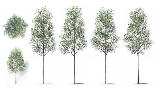 六款3D渲染的杨树大树绿树园艺绿植观赏植物367838免抠图片素材