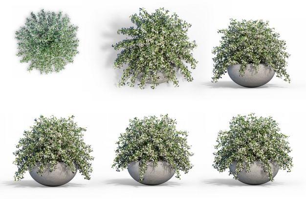 六款3D渲染的六月雪盆栽绿植观赏植物482531免抠图片素材 生物自然-第1张