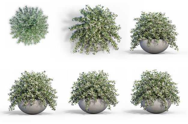 六款3D渲染的六月雪盆栽绿植观赏植物482531免抠图片素材