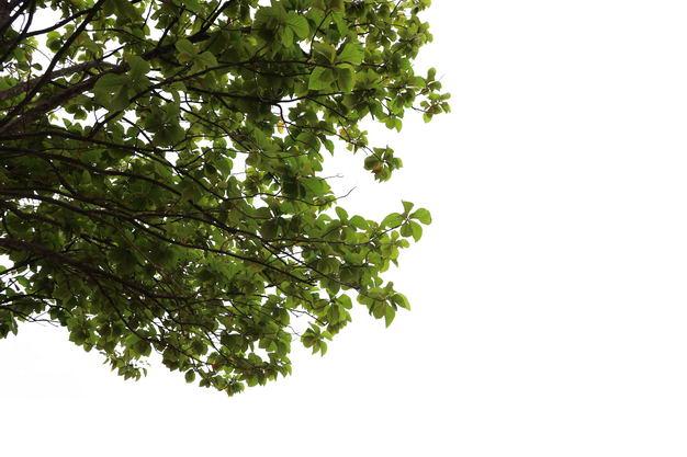 榄仁树鹅掌楸树冠大树绿树植物663268免抠图片素材 生物自然-第1张