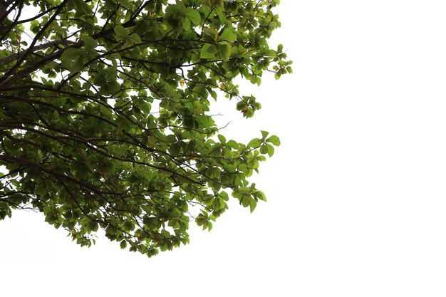 榄仁树鹅掌楸树冠大树绿树植物663268免抠图片素材