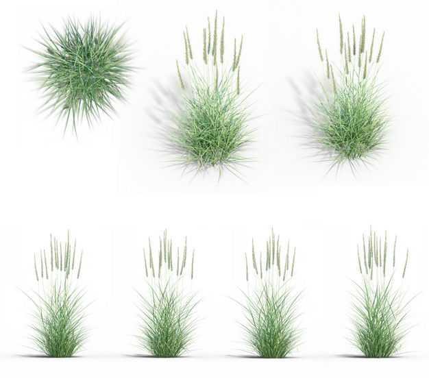 七款3D渲染的狼尾草野草茅草绿植观赏植物229123免抠图片素材