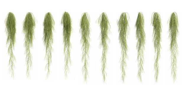 十款3D渲染的老人须松萝铁兰松萝凤梨盆栽绿植观赏植物223159免抠图片素材