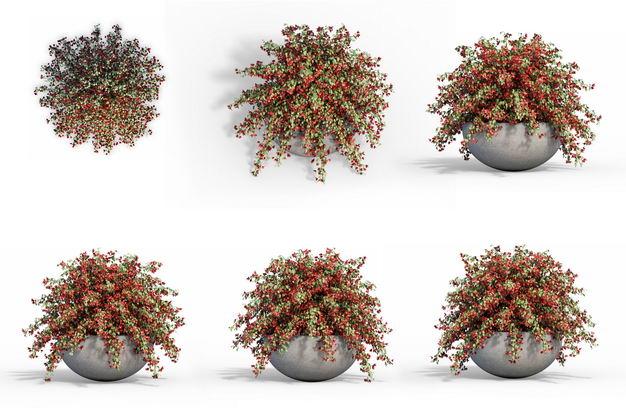 六款3D渲染的平枝栒子盆栽绿植观赏植物831287免抠图片素材