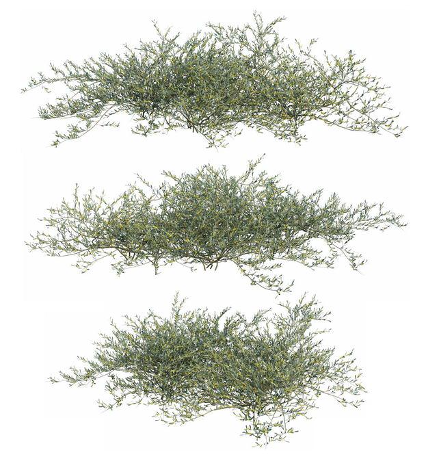 三款3D渲染的地肤灌木丛盆栽植物盆景433729PSD免抠图片素材 生物自然-第1张