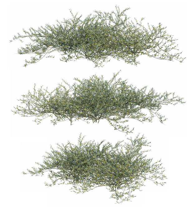三款3D渲染的地肤灌木丛盆栽植物盆景433729PSD免抠图片素材