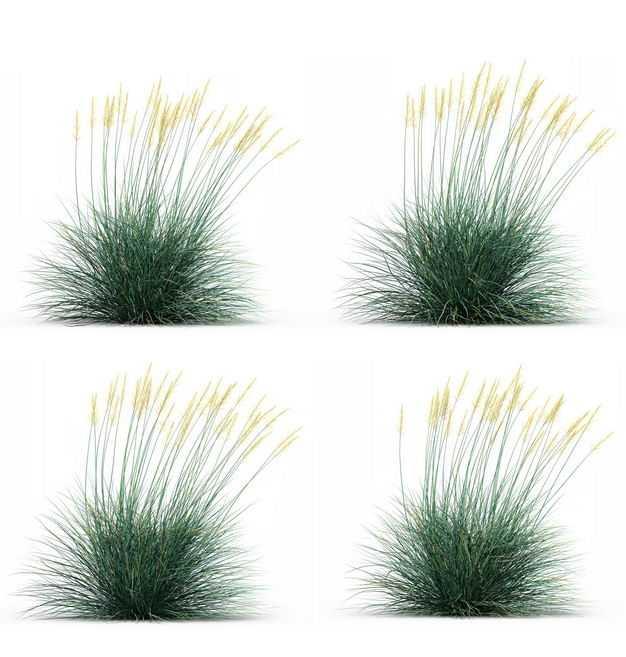 四款3D渲染的蓝羊茅野草园艺绿植观赏植物598757免抠图片素材