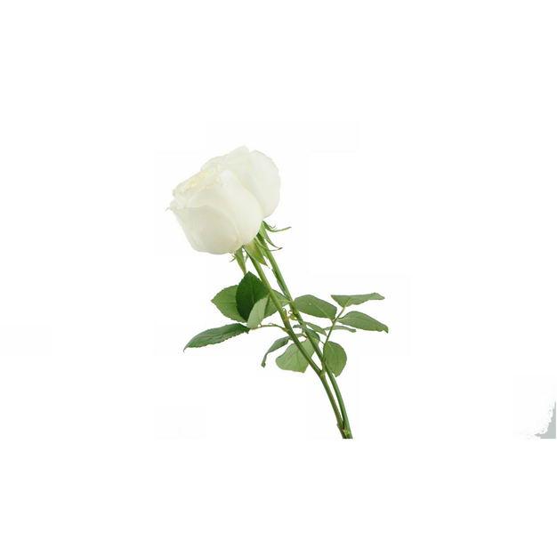 带叶子的两朵白玫瑰花朵花卉白色花朵286732png图片免抠素材 生物自然-第1张