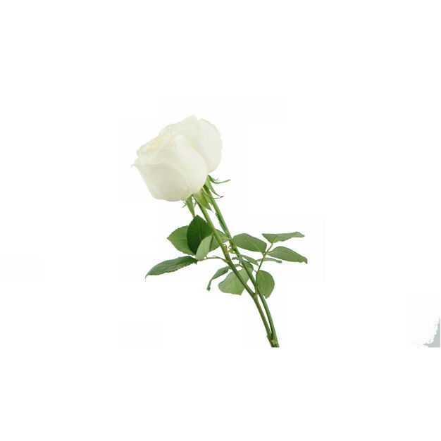 带叶子的两朵白玫瑰花朵花卉白色花朵286732png图片免抠素材