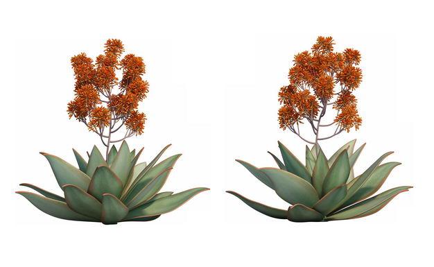 两款3D渲染的开花龙舌兰绿植观赏植物888920免抠图片素材