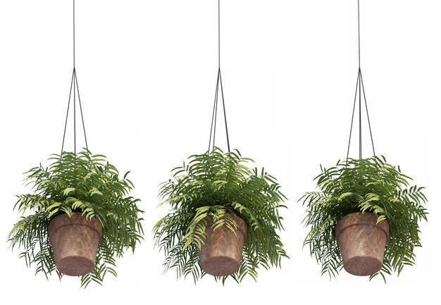 三款3D渲染的异叶南洋杉吊兰盆栽绿植观赏植物977037免抠图片素材