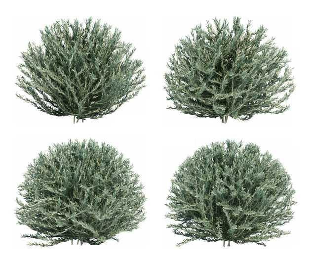 四棵3D渲染的盐爪爪绿色灌木丛盆栽植物792194免抠图片素材