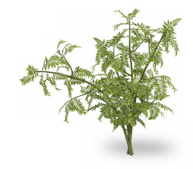 3D渲染的红豆杉绿植观赏植物128629免抠图片素材 生物自然-第1张