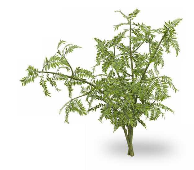 3D渲染的红豆杉绿植观赏植物128629免抠图片素材