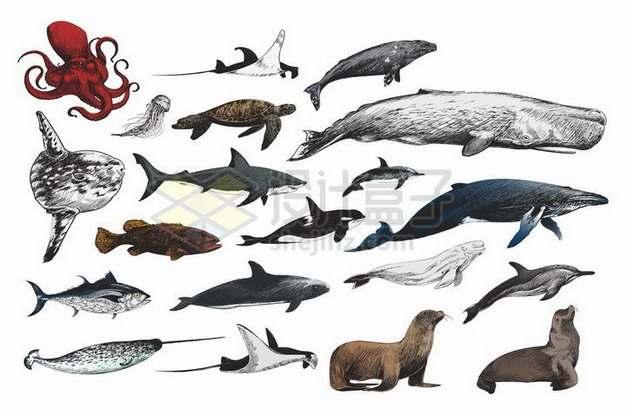 章鱼蝠鲼魔鬼鱼海豹翻车鱼海龟水母抹香鲸鲨鱼虎鲸海狮独角鲸等海洋动物彩绘插画490034png矢量图片素材