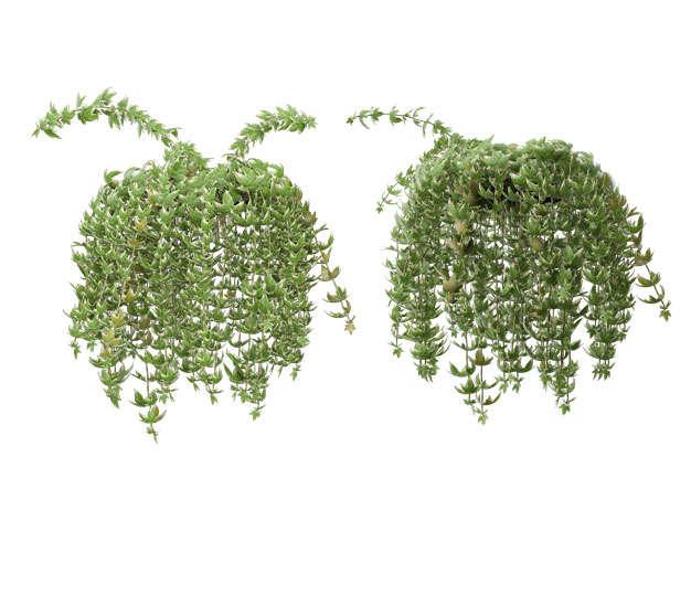 两款3D渲染的吊兰绿植观赏植物762921免抠图片素材