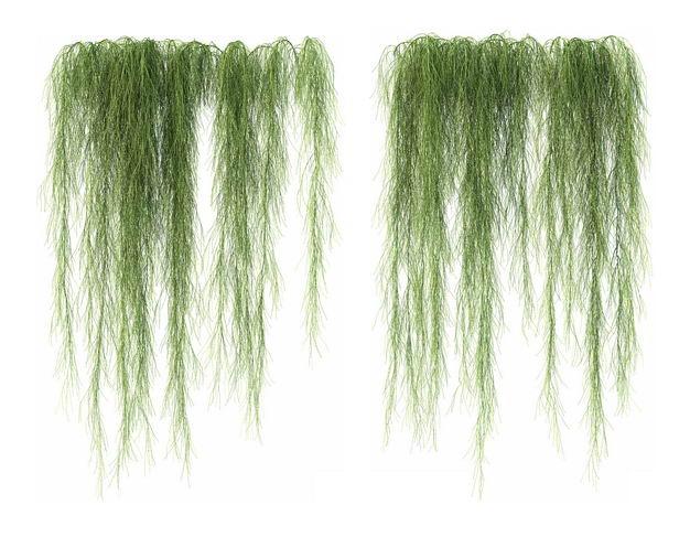 两款3D渲染的老人须松萝铁兰松萝凤梨盆栽绿植观赏植物617853免抠图片素材