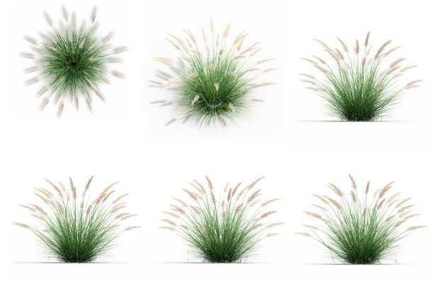 六款3D渲染的狼尾草狗尾草野草茅草绿植观赏植物336676免抠图片素材