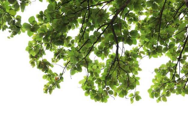 榄仁树树冠大树绿树植物586346免抠图片素材