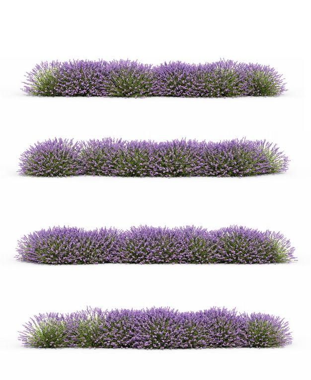 四款3D渲染的薰衣草花丛草丛绿植观赏植物496233免抠图片素材 生物自然-第1张