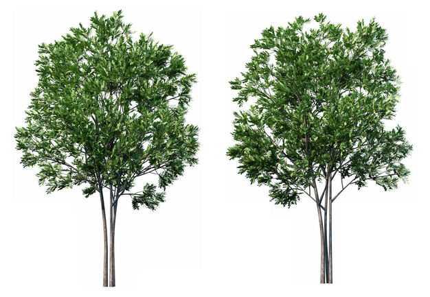 两款3D渲染的杜英大树绿树园艺绿植观赏植物678902免抠图片素材