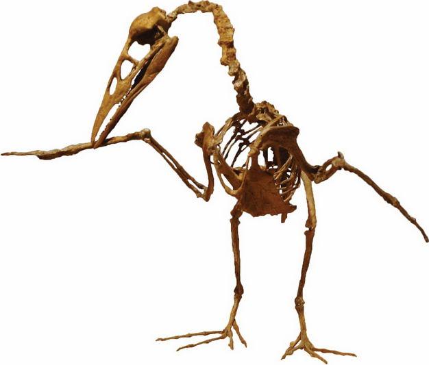 晚白垩纪的鱼鸟化石反鸟类骨架7312686png图片免抠素材