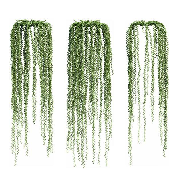 三款3D渲染的很长的翡翠珠吊兰绿植观赏植物486643免抠图片素材