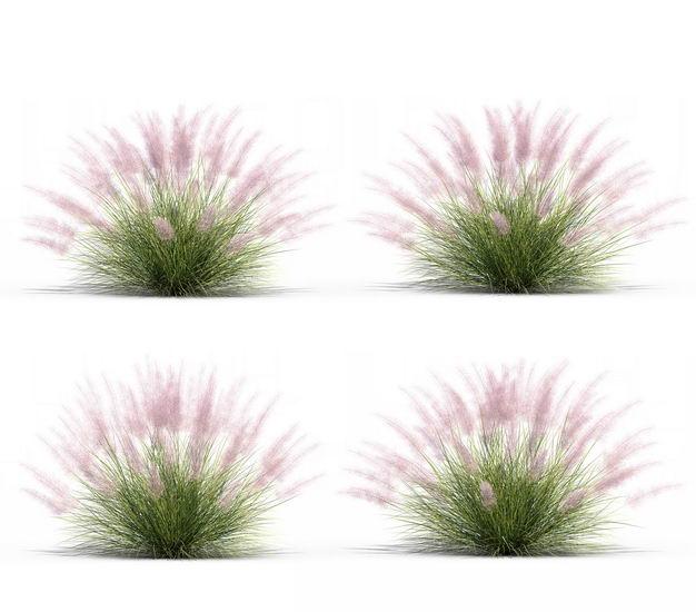 四款3D渲染的乱子草三芒草园艺绿植观赏植物305675免抠图片素材 生物自然-第1张