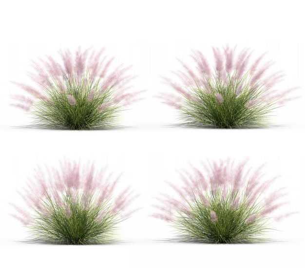 四款3D渲染的乱子草三芒草园艺绿植观赏植物305675免抠图片素材