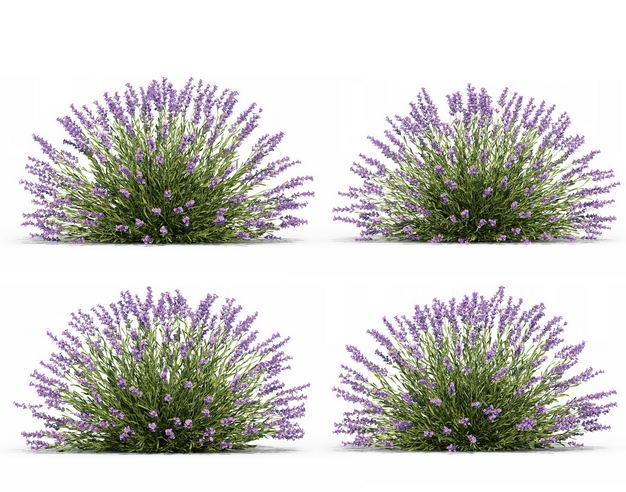 四款3D渲染的薰衣草花丛绿植观赏植物804440免抠图片素材