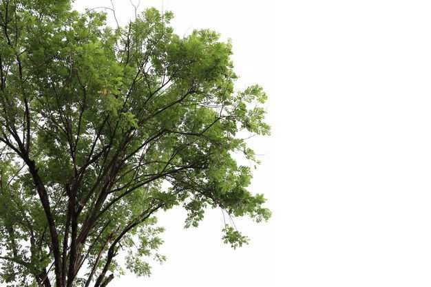 黄连木大树绿树植物772712免抠图片素材