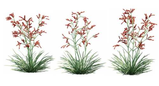 三款3D渲染的袋鼠爪花卉绿植观赏植物975542免抠图片素材