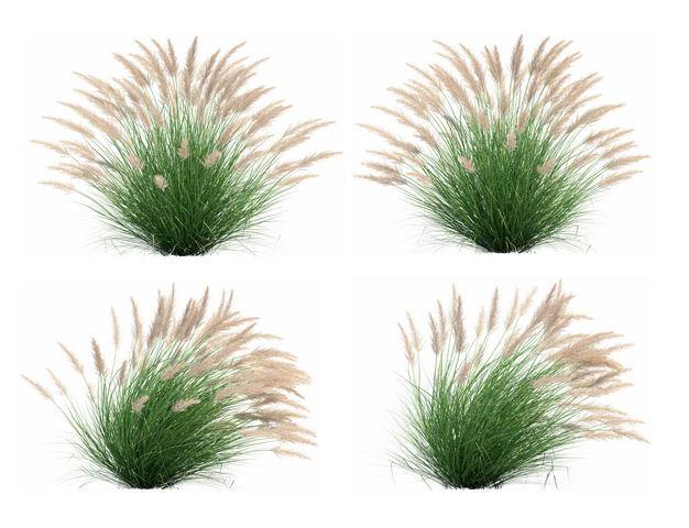 四款3D渲染的蒲苇绿植观赏植物737813免抠图片素材