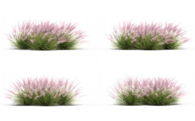 四款3D渲染的乱子草三芒草草丛园艺绿植观赏植物550161免抠图片素材
