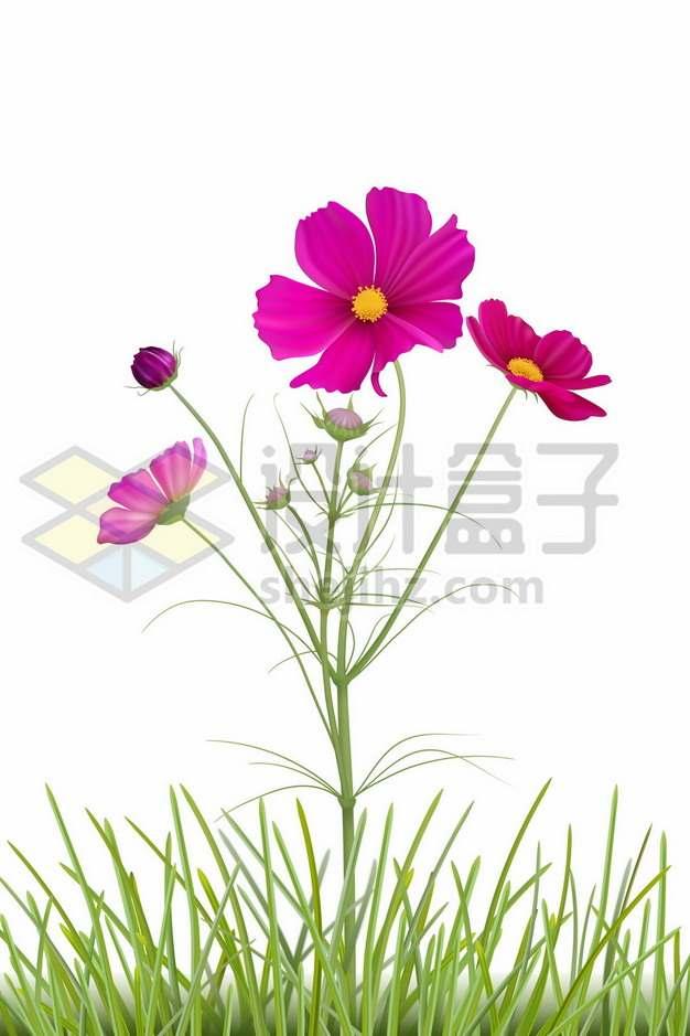 盛开的秋英花朵红色小花836730图片素材