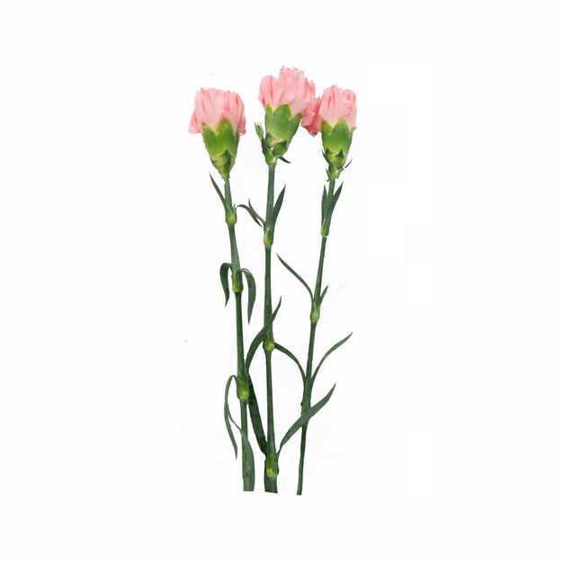 三只康乃馨母亲节花朵656676png图片免抠素材