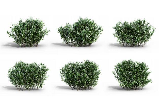 六款3D渲染的冬青小树丛灌木丛绿植观赏植物202877免抠图片素材