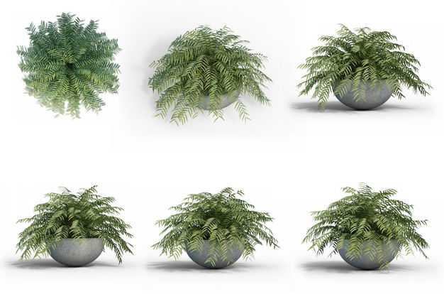 六款3D渲染的异叶南洋杉绿植观赏植物386721免抠图片素材