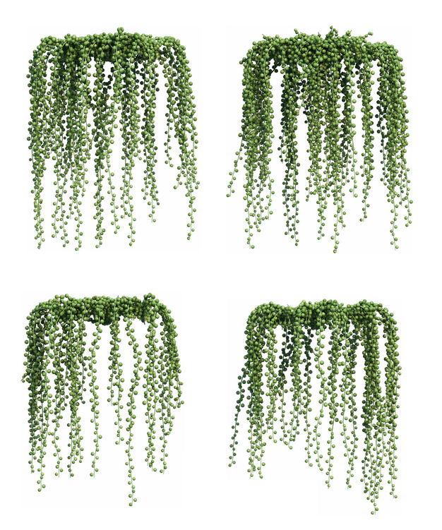 四款3D渲染的长长的翡翠珠吊兰绿植观赏植物555621免抠图片素材