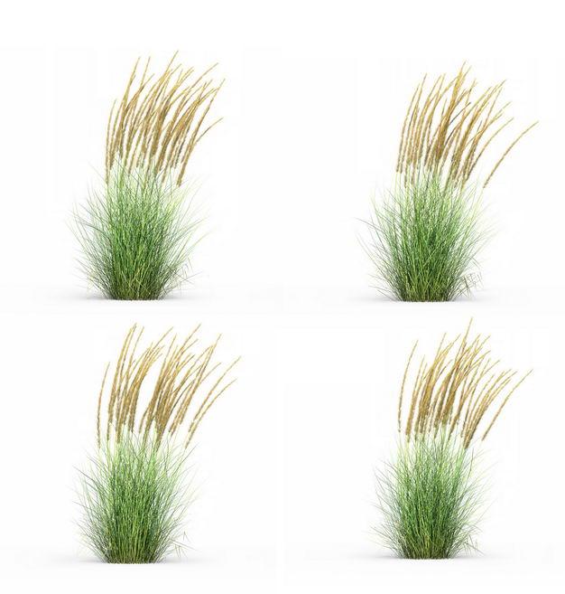 四款3D渲染的蒲苇羽毛芦苇草园艺绿植观赏植物974269免抠图片素材 生物自然-第1张